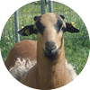 Schaf-auf-Gerstels-Ferienhof-in-Craula